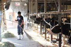 牛たちのストレスにならないように牛舎はいつも清潔に。
