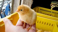 雛から一貫して育てているので飼料の一貫性、環境の一貫性が保たれ健康・頑強な成鶏になる。